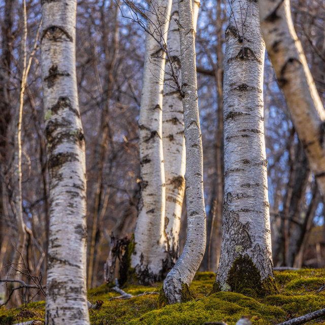 """Birch tree trunks in sunset light in autumn time in the forest"" stock image"
