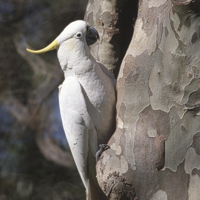 """Sulfur-Crested Cockatoo"" stock image"