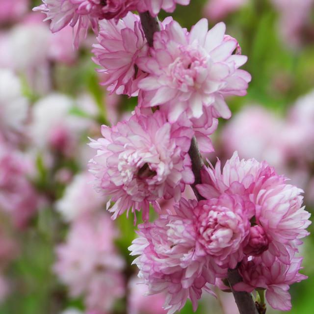 """""""Dwarf Flowering Almond"""" stock image"""