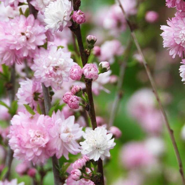 """Dwarf Flowering Almond II"" stock image"