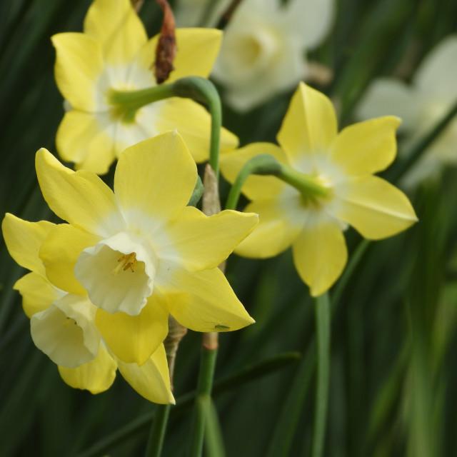 """""""Uniquely Colored Daffodil"""" stock image"""