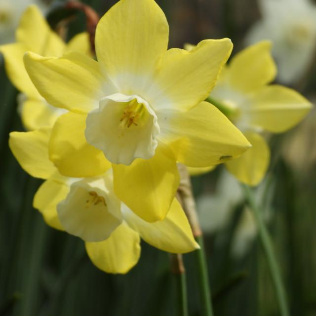 """""""Unique Daffodil Closeup"""" stock image"""