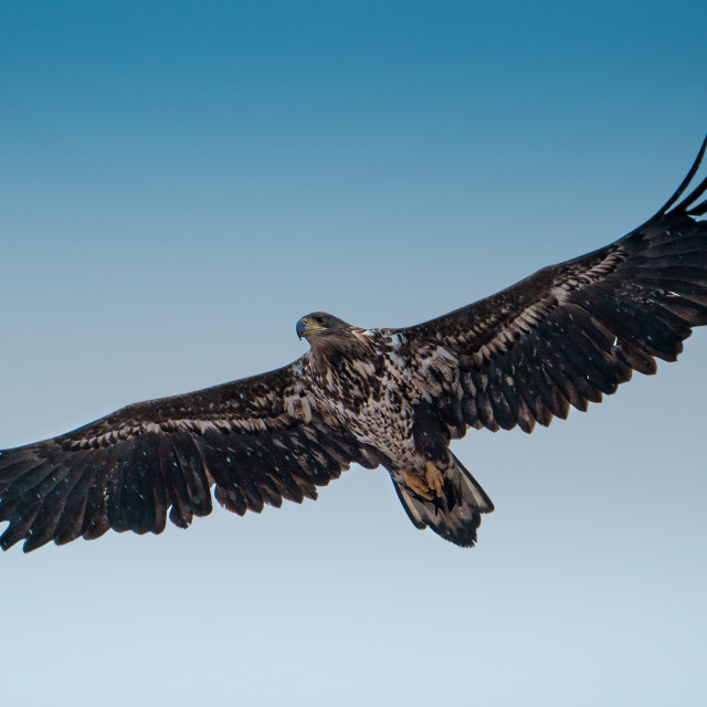 """""""The white-tailed eagle"""" stock image"""
