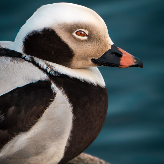 """""""The long-tailed duck"""" stock image"""