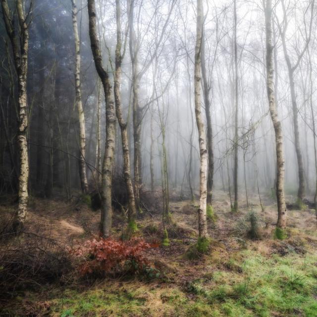 """Winter Woodland Mist"" stock image"