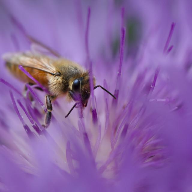 """""""Honey Bee on Flower"""" stock image"""