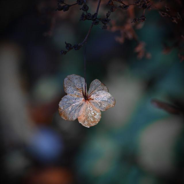 """Hydrangea Flower"" stock image"