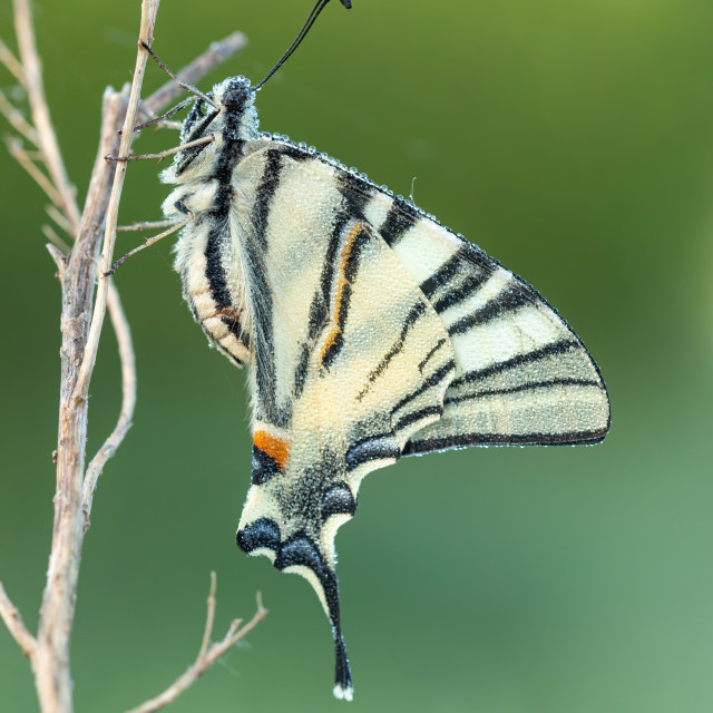 """""""Old World swallowtail macro picture at the morning with dew drops"""" stock image"""