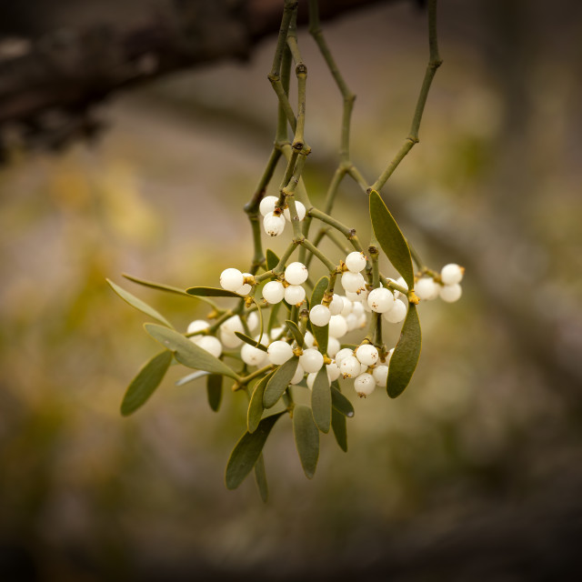 """Mistletoe white berries on the forest- Viscum album"" stock image"