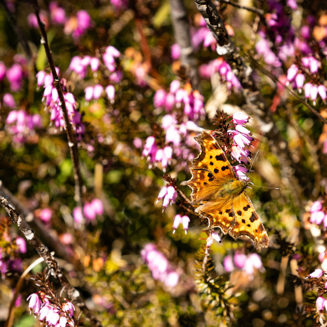 """""""Heather with butterfly"""" stock image"""