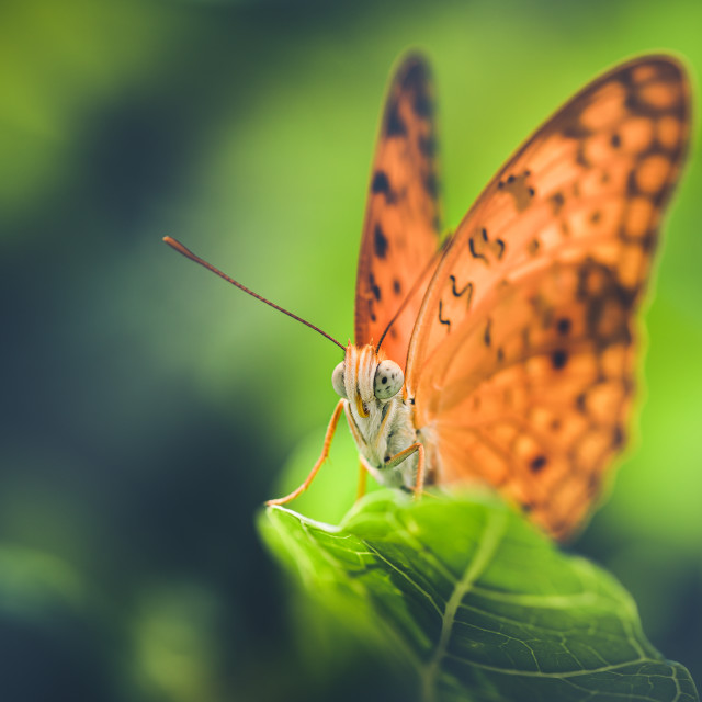 """Closeup of a Common Leopard Butterfly"" stock image"