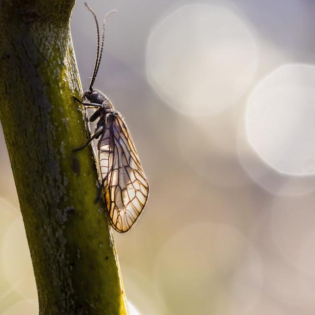 """""""Alderfly on overhanging vegetation"""" stock image"""