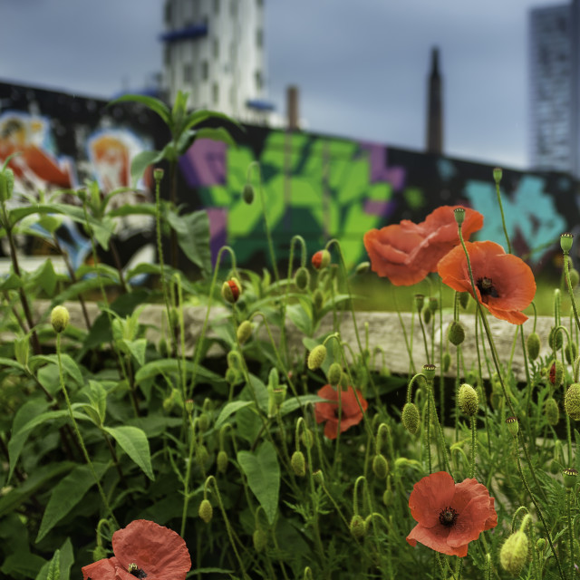 """""""Poppies on building site"""" stock image"""