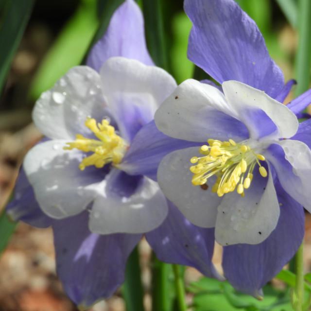 """""""Rain-Kissed Purple Columbine Flower"""" stock image"""