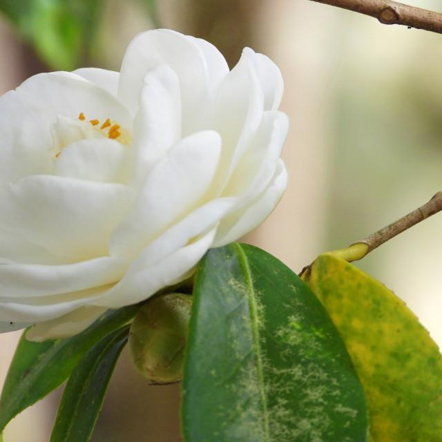 """A Lone White Camellia"" stock image"
