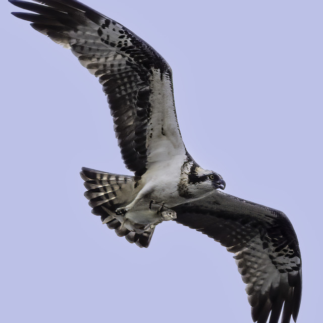 """""""Osprey with two fishes"""" stock image"""