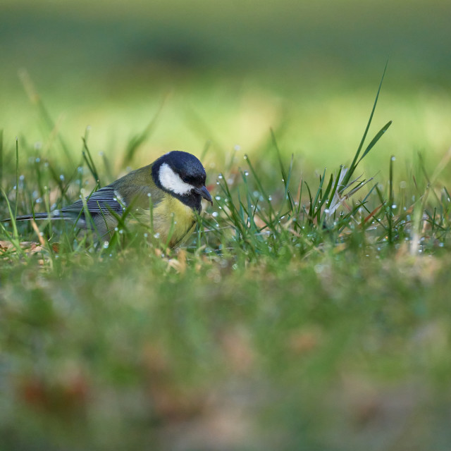 """Cute great tit perched in the morning dew (Parus major)"" stock image"