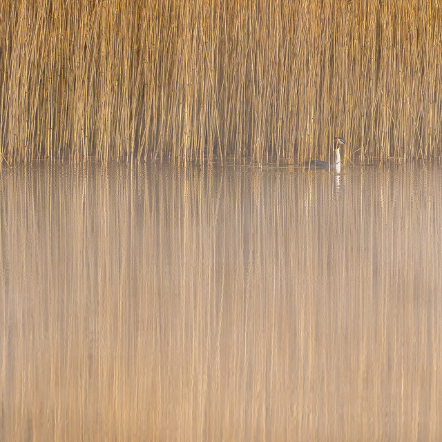 """""""Great Crested Grebe in Reeds"""" stock image"""