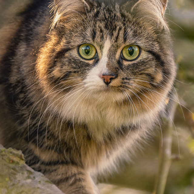 """""""A Cat with Green Eyes"""" stock image"""