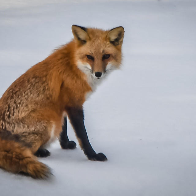 """""""Female red fox in snow"""" stock image"""