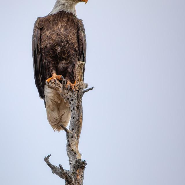 """Eagle-Watch-Intruder-Arizona-White-Mountains"" stock image"