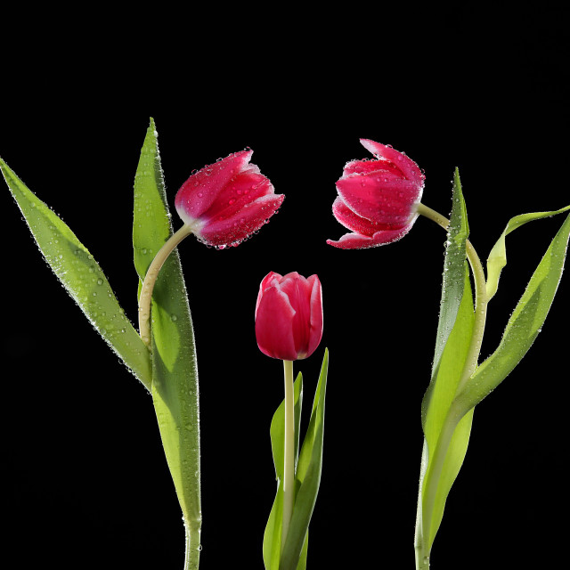 """""""Red tulips on a black background with green stems and leaves"""" stock image"""