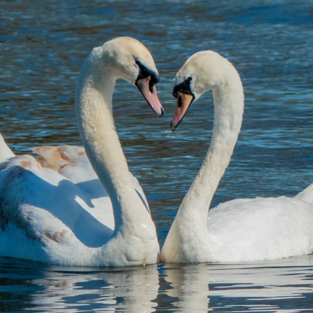 """Swans in Love"" stock image"