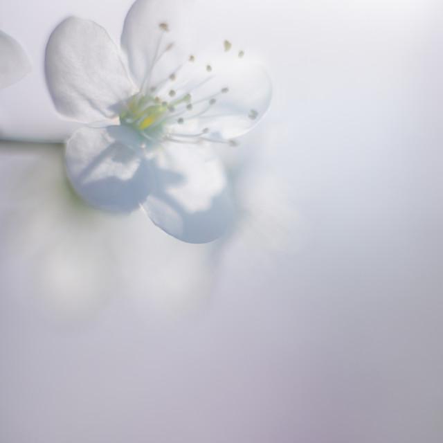 """Cherry Tree Blossom"" stock image"
