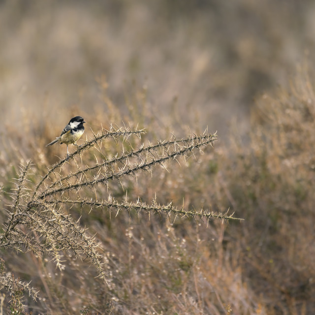 """""""Coal Tit sat on Gorse branch"""" stock image"""