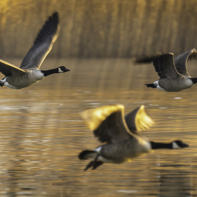 """""""Three Canada Geese in flight"""" stock image"""