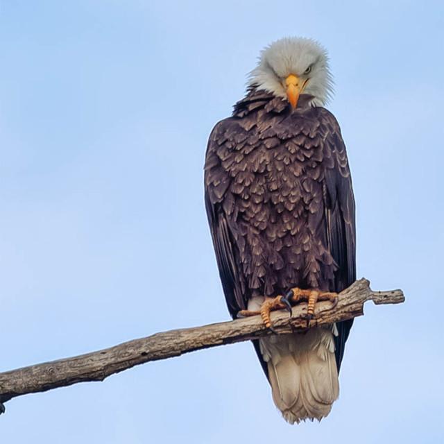 """bald eagle-predator-wild west-bird"" stock image"