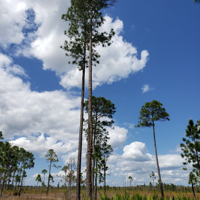 """""""Rebirth after fire at Ocala National Forest"""" stock image"""