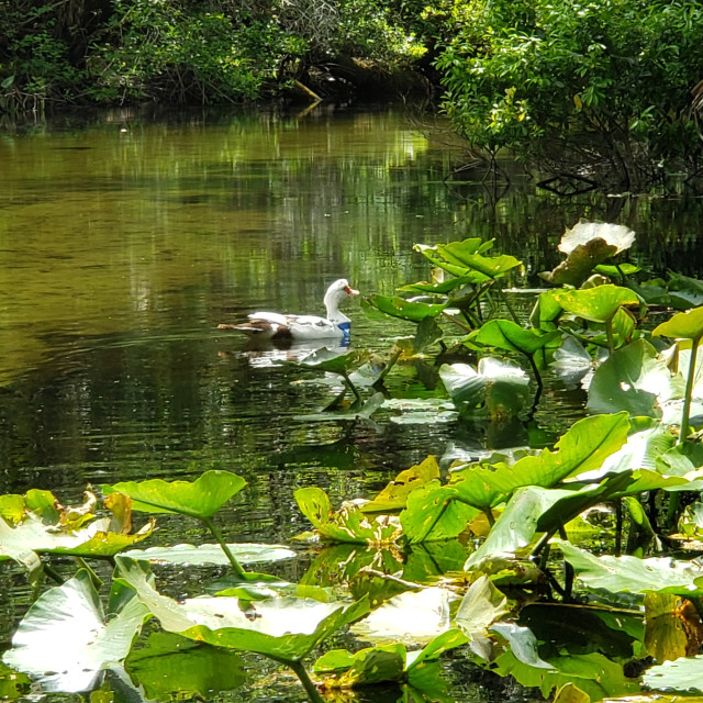 """""""Muscovy Duck in Ocala National Forest"""" stock image"""