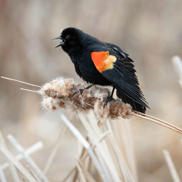 """Red-winged Blackbird Sings From Atop Cattail"" stock image"