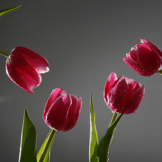 """""""Red tulips with green stems and leaves"""" stock image"""
