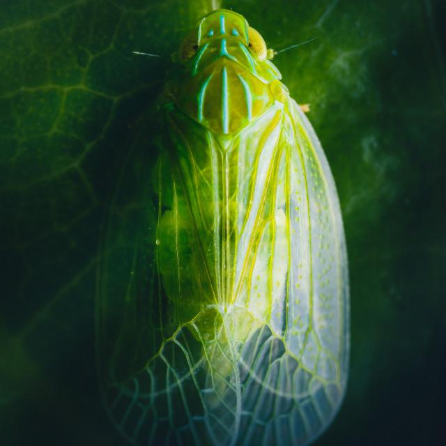 """Closeup of a Grainy Planthopper"" stock image"