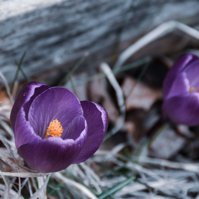 """""""Me and my crocus friend"""" stock image"""