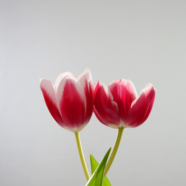 """""""Beautiful tulips with green stems and leaves"""" stock image"""