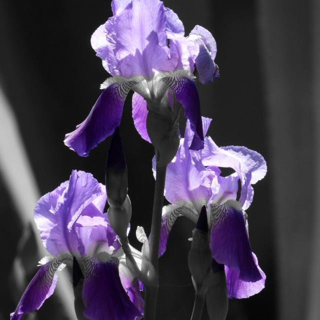 """Splash of Color, Triple purple Iris"" stock image"