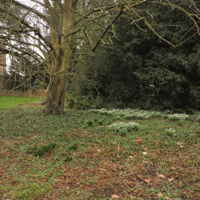 """Snowdrops at Sudbury Hall, Derbyshire Dales, March 2021"" stock image"