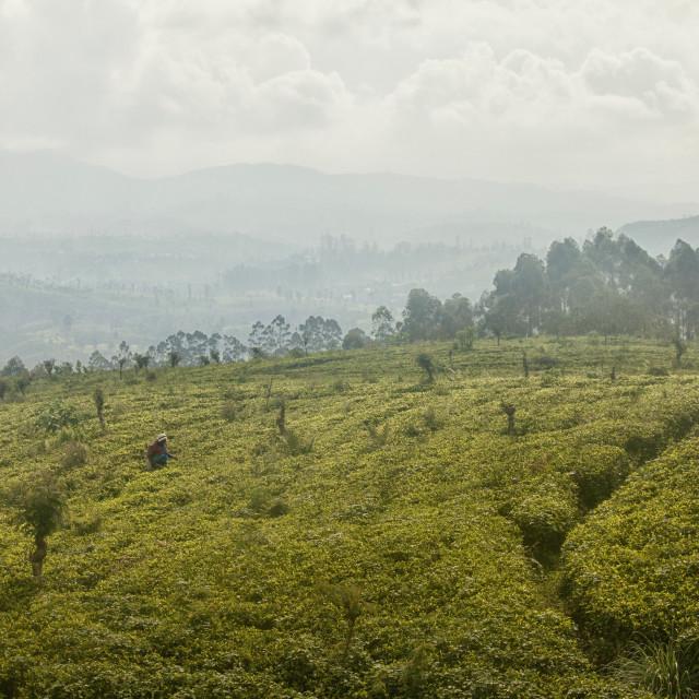 """""""Tea picking women in Highlands, Sri Lanka"""" stock image"""