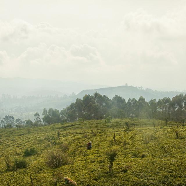 """Tea picking women in Sri Lanka"" stock image"