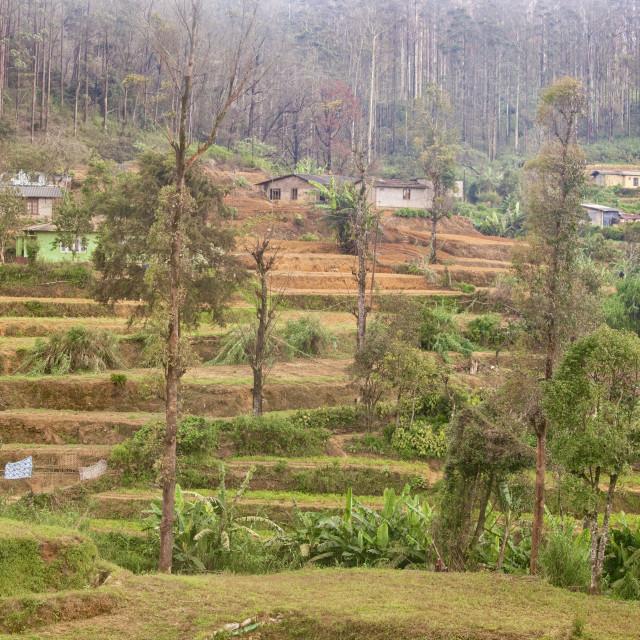 """Tea plantations in the Highlands of Sri Lanka"" stock image"