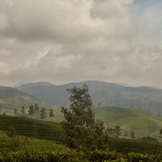 """Tea plantations in Highlands of Sri Lanka"" stock image"