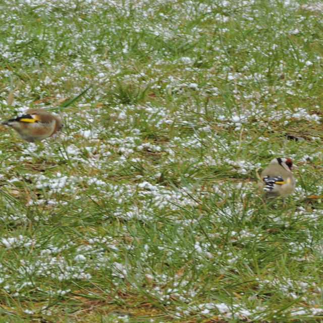 """""""Pair of Goldfinches, Early Snowy Morning, Middleton Equestrian Centre, April 2021"""" stock image"""