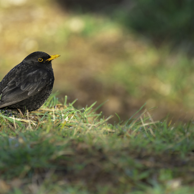 """A Male Blackbird sat on grass"" stock image"