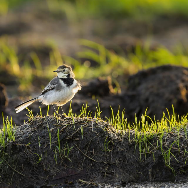 """""""Pied Wagtail stood on grass tussock"""" stock image"""