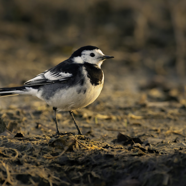 """""""Closeup of a Pied Wagtail"""" stock image"""