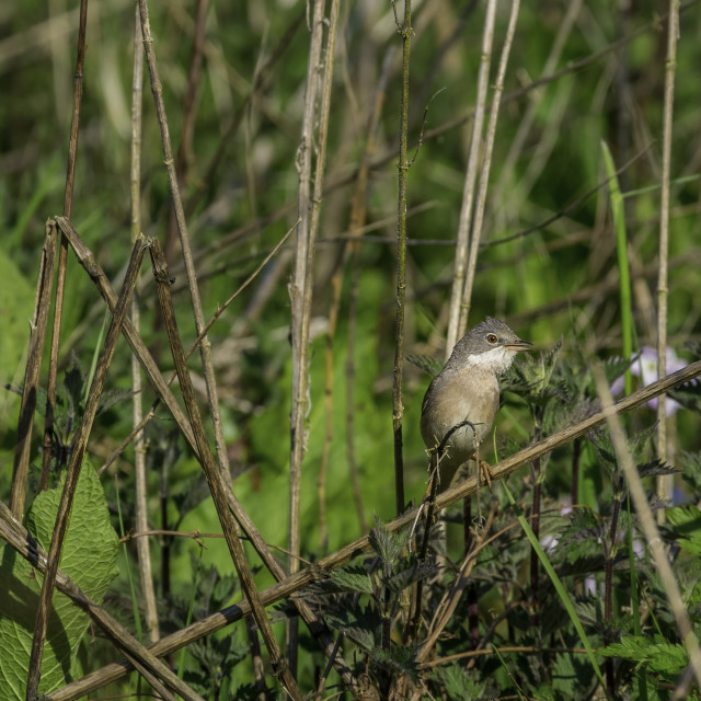 """""""Male Whitethroat in Undergrowth"""" stock image"""