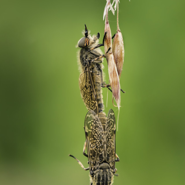 """Horsefly mating"" stock image"